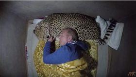 你能想像兇猛的獵豹居然也有溫馴的一面嗎?美國動物行為學家沃克(Dolph Volker)相當喜歡野生動物,有次為了更近距離的觀察牠們,沃克大喇喇的睡在戶外,沒想到半夜竟遭獵豹闖入,而這隻獵豹不但沒有攻擊他,反倒成了他的專屬「豹」枕,模樣相當可愛。(圖/翻攝自Dolph C. Volker YouTube)