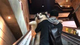 影/反差萌!巨型雪橇犬不敢上電梯 爸下一秒抱起超霸氣(圖/翻攝自Instagram@elvis.barksley)