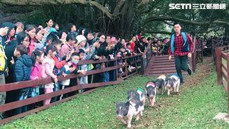 花漾豬遊記!近萬遊客瘋玩埔心牧場