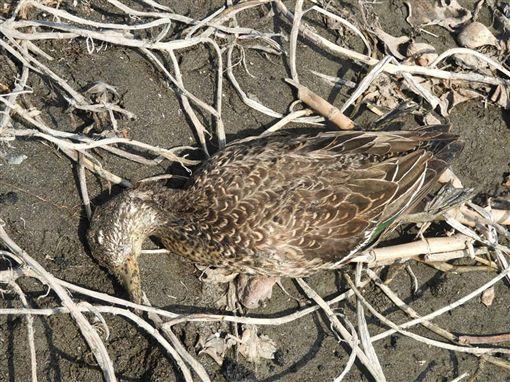 高屏溪,野鳥,黑面琵鷺,侯鳥,感染,暴斃。翻攝自南投縣野鳥學會臉書