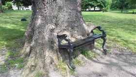 (圖/翻攝自推特)愛爾蘭,巨樹,吞,長椅,飢餓樹