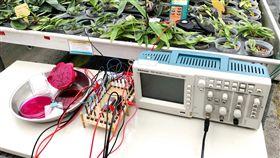 火龍果製太陽能電池 嘉大研究登國際期刊(2)嘉義大學電機工程系師生歷時2年,研究利用火龍果製作太陽能電池,實驗發現,以火龍果的染劑塗在導電玻璃片上,可達到最顯著的電極電壓,透過晶片轉換即可形成具高靈敏度火龍果染料敏化太陽能電池,成果更獲國際期刊刊載。(嘉義大學提供)中央社記者黃國芳傳真  108年3月4日