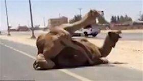 陶醉!駱駝當街野戰啪啪啪,「邊叫邊騎」駕駛看傻大塞車。(圖/翻攝自YouTube Harman Sran)