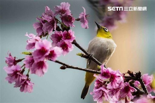 延平南路,櫻花,賞花,綠繡眼