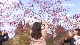 阿里山櫻花1200