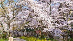 賞櫻,櫻花,訂房,Agoda 圖/Agoda
