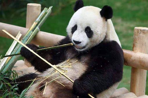 中國貓熊可能送高雄 壽山動物園籌備事宜中國國寶貓熊可能送給高雄。壽山動物園管理中心主任莊絢智10日說,如果確定來高雄,將籌備新建一座恆溫攝氏18至22度及濕度60%至70%的溫室,並先種植適用的竹類10多種。圖為重慶動物園貓熊。(翻攝照片)中央社記者陳朝福傳真  108年3月10日