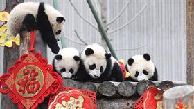 高雄稱中國將送貓熊  陸民:諂媚台灣人對於贈送一對大貓熊給高雄市政府,大陸網民10日在微博齊聲反對,痛批「喪權辱國」、「諂媚台灣人」。圖為大貓熊寶寶在臥龍神樹坪基地玩耍。(中新社提供)中央社  108年3月10日