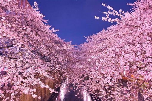 櫻花,夜櫻。(圖/樂天旅遊提供)