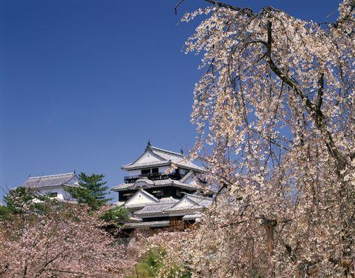 ▲滿開的櫻花讓松山城的春天成為一場美好的視覺饗宴(圖/shutterstock.com)