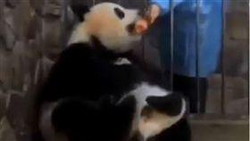 熊貓媽咪被飼養員誘惑。(圖/翻攝自YouTube 爆料公社5.0)