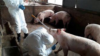 海漂豬驗出豬瘟  烈嶼豬隻採樣送檢