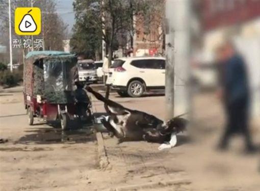 中國大陸,驢肉店,當街宰殺驢子(圖/翻攝自梨視頻)