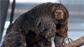 肌肉,健美,猴,白面僧面猴,動物園,芬蘭,猿猴,館長, 圖/翻攝自推特 https://goo.gl/FQXKmR