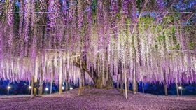 ▲足利花卉公園的大藤浪漫指數破表(圖/shutterstock.com)