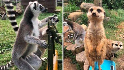狐猴與狐獴。(圖/六福旅遊集團提供)