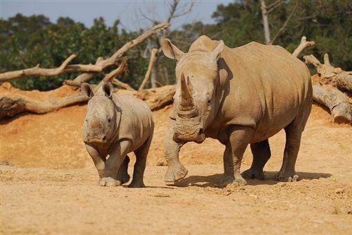 犀牛。(圖/六福旅遊集團提供)