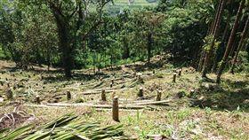 農民怨砍檳榔樹 花蓮林管處指依法輔導剷除 中央社