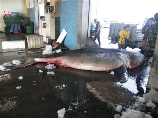 宜蘭漁民捕獲大白鯊/翻攝照片