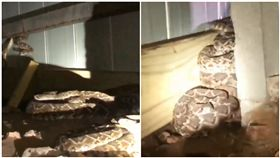 美國,德州,響尾蛇,冬眠,覓食(圖/翻攝自Big Country Snake Removal臉書)