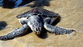 澎湖野放救傷保育成功海龜(2)澎湖縣政府與國小100名小朋友、居民、遊客,14日在馬公?裡海灘野放15隻先前獲救、保育成功的綠蠵龜及玳瑁,大家一起為海龜奮力爬向大海加油。中央社  107年5月14日