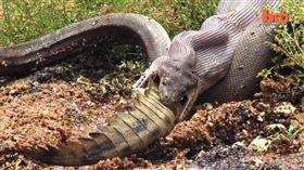 (圖/翻攝自YouTube)澳洲,昆士蘭,鱷魚,蟒蛇,生吞