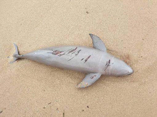 馬祖又見死亡海豚(2)海巡署金馬澎分署岸巡隊24日在南竿復興灘岸發現一隻死亡海豚,經連江縣政府研判為露脊鼠海豚,長度約130公分、寬度約50公分,已將海豚屍體就地掩埋。(馬祖岸巡隊提供)中央社 108年3月24日