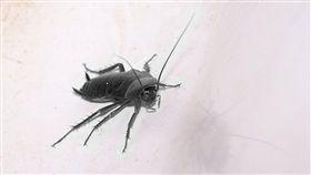 蟑螂,男同事,男友,PTT。翻攝自pixabay