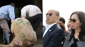 韓國瑜,非洲豬瘟,組合圖