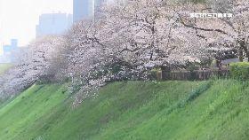 日櫻花滿開2400