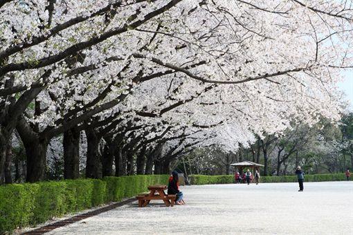 ▲在首爾大公園的櫻花樹下乘涼超愜意(圖/shutterstock.com)