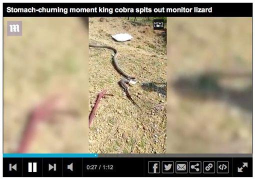 印度,眼鏡王蛇,巨蜥,屍體,驚嚇,蛇王。翻攝英國每日郵報
