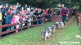 桃園,埔心牧場,228,連假,花漾豬遊記,小豬路跑,埔心