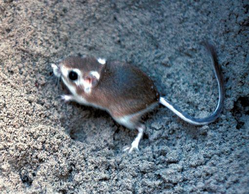 更格盧鼠,美國,亞利桑那州,忍者鼠 (圖/翻攝自維基百科)