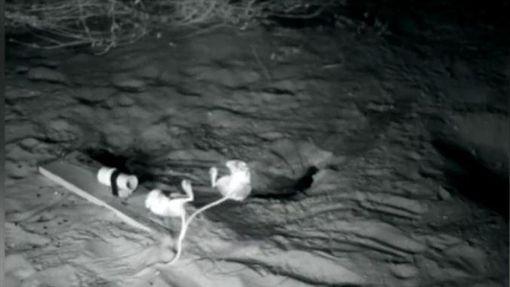 更格盧鼠,美國,亞利桑那州,忍者鼠 (圖/翻攝自YouTube)