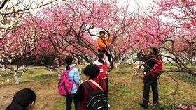 樹上開滿了「中國大媽」。(圖/翻攝香港《星島日報》)