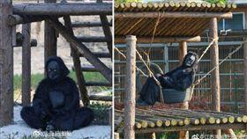 動物園中的動物若出現「類似人類」的動作時,都會被網友虧是「工讀生」假扮,沒想到大陸有一間動物園的黑猩猩,真的是「工讀生」冒充的,讓遊客看得十分生氣,怒喊:「小孩很失望!」(圖/翻攝自微博)