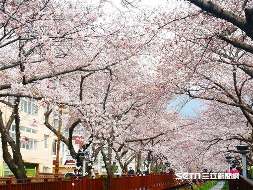 韓國,余佐川櫻花,賞櫻,十里櫻花路。(圖/記者馮珮汶攝)