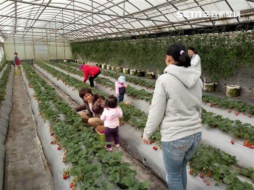 採草莓,台北市產業發展局,內湖,草莓,清香休閒農場,桂香草莓園,白石森活休閒農場