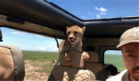 非洲獵豹闖後座「盯著脖子猛瞧」 駕駛爆冷汗斜眼狂瞄!(圖/翻攝自Elisa Jaffe FB)