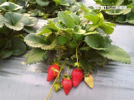草莓,農委會,苗栗農改場,苗栗1號,戀香,香奈兒