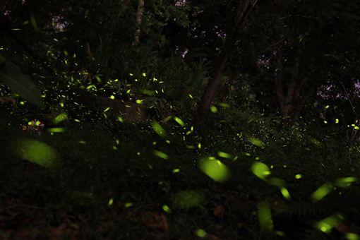 螢火蟲季節來臨,台中市政府舉辦多場賞螢生態教育解說,歡迎民眾賞螢觀蛙,體驗生態之美。(台中市政府提供)中央社記者趙麗妍傳真 108年4月9日