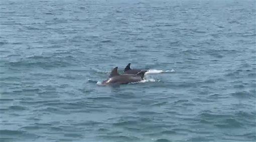天氣轉暖,台中港北堤海域8日發現10多隻海豚聚集跳躍戲水,模樣相當可愛逗趣,海巡人員趕緊錄影拍照留下紀錄。(台中海巡隊提供)中央社記者趙麗妍傳真 108年4月8日