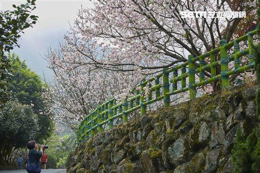 新北市,賞櫻,淡水,天元宮,北投子溪畔步道,吉野櫻,新北市綠美化環境景觀處