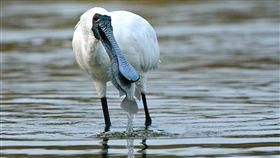 2019黑琵全球普查 破4000隻創新紀錄中華民國野鳥學會11日公布「2019黑面琵鷺全球同步普查」,全球黑面琵鷺總數創新紀錄,達4463隻,其中台灣擁有全球超過半數的黑琵度冬族群,這次調查到2407隻,但棲地保育仍要持續。(中華民國野鳥學會提供)中央社記者楊淑閔傳真 108年4月11日