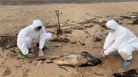 馬祖海域今年發現第6隻死亡海豚。(圖/翻攝自海巡金馬澎分署馬祖岸巡隊 fb)