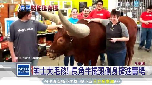 駱駝現身逛寵物店…原是為了「量體重」
