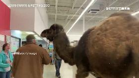 駱駝逛賣場1800