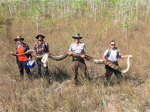 美國佛羅里達州,大柏樹國家保護區,緬甸蟒(圖/翻攝自臉書)