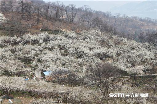 韓國,梅花村。(圖/記者馮珮汶攝)